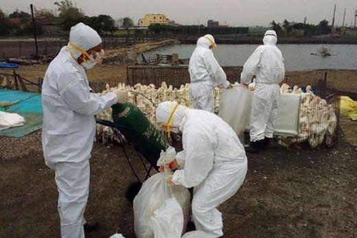 China Mulai Diserang Flu Burung, Kemenkes RI Tingkatkan Kewaspadaan