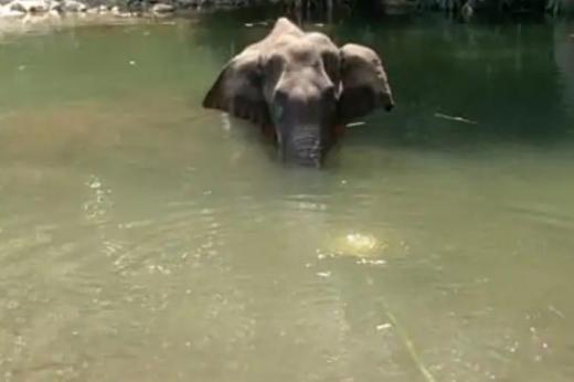 Gajah Hamil Mati setelah Diberi Makan Nanas Berisi Petasan