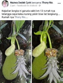 Wau... Ada Batang Nangka Berbuah Nanas di Pekanbaru, Asli Atau Hoax?