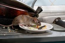 Dampak Pandemi Corona, Tikus jadi Lebih Ganas