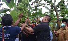Berpotensi Ekspor ke Luar Negeri, Pemerintah Diminta Bantu Petani Kembangkan Budidaya Pisang Mulia