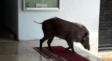 Ini Penyebab Babi Hutan Masuk Masjid Menurut BKSDA