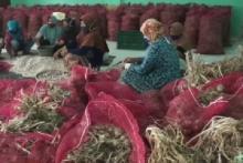 Perdana dan di Tengah Pandemi, Petani Batang Ekspor Bawang Putih untuk Obat