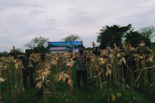 Pandemi, Polisi di Tangerang Panen Raya Jagung Hibrida bersama Masyarakat